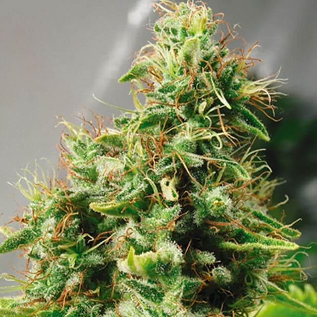 Buy Mr Nice Seeds  Master Haze REG