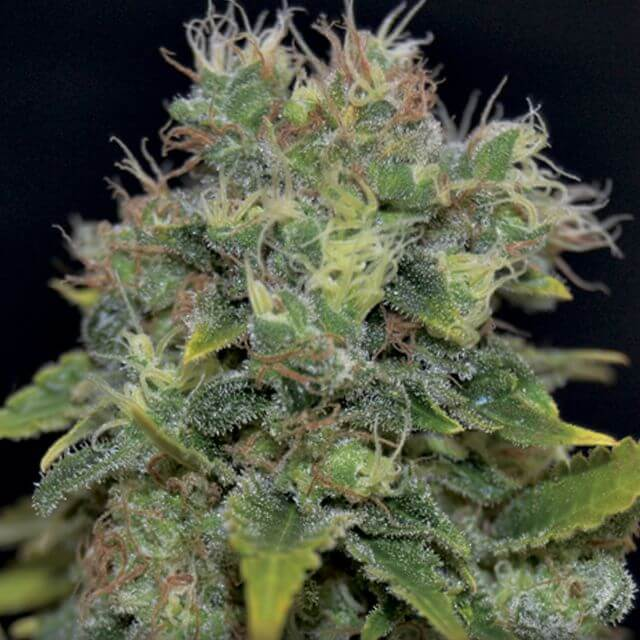 Buy CBD Seeds Auto Yumbolt FEM