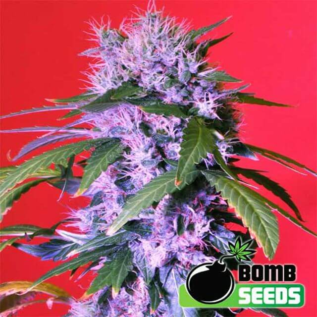 Buy Bomb Seeds Berry Bomb FEM
