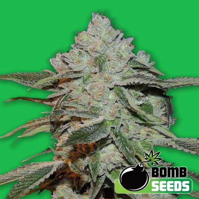 Buy Bomb Seeds Atomic Bomb FEM