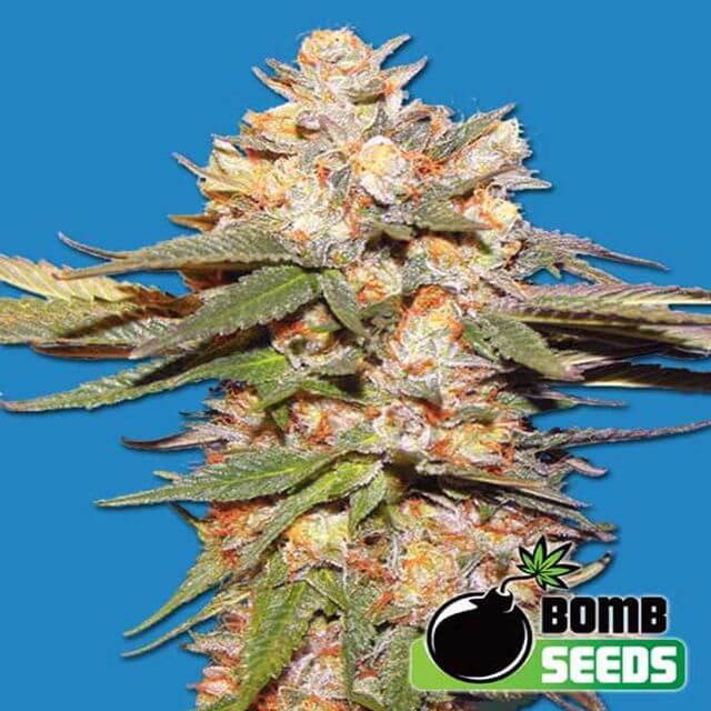 Buy Bomb Seeds Big Bomb Auto FEM