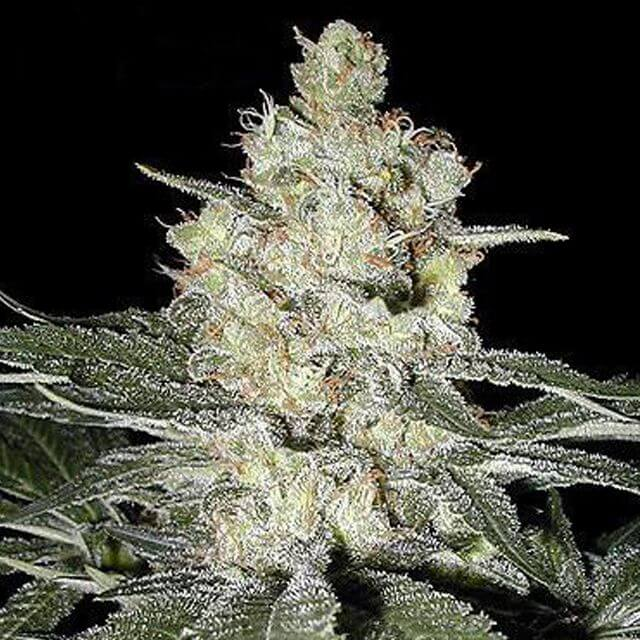 Buy Seedsman Seeds Skunk # 1 REG