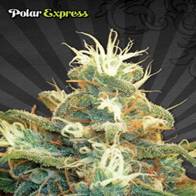 Buy Auto Seeds Polar Express FEM