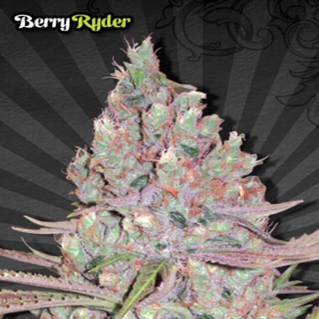 Buy Auto Seeds Berry Ryder FEM