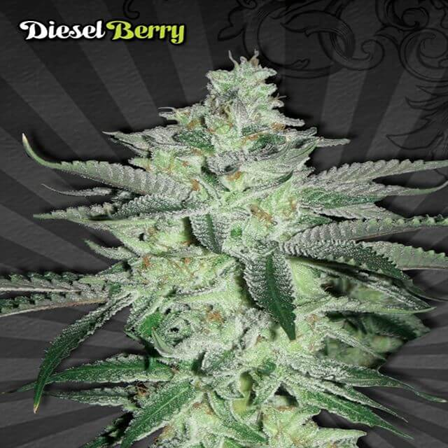 Buy Auto Seeds Diesel Berry FEM