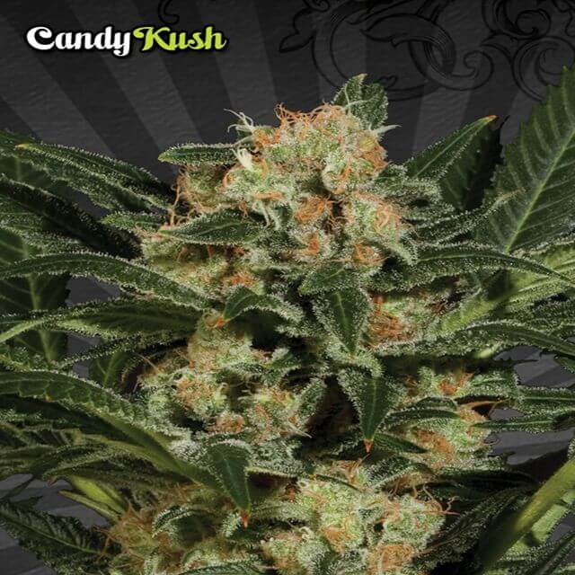 Buy Auto Seeds Candy Kush FEM