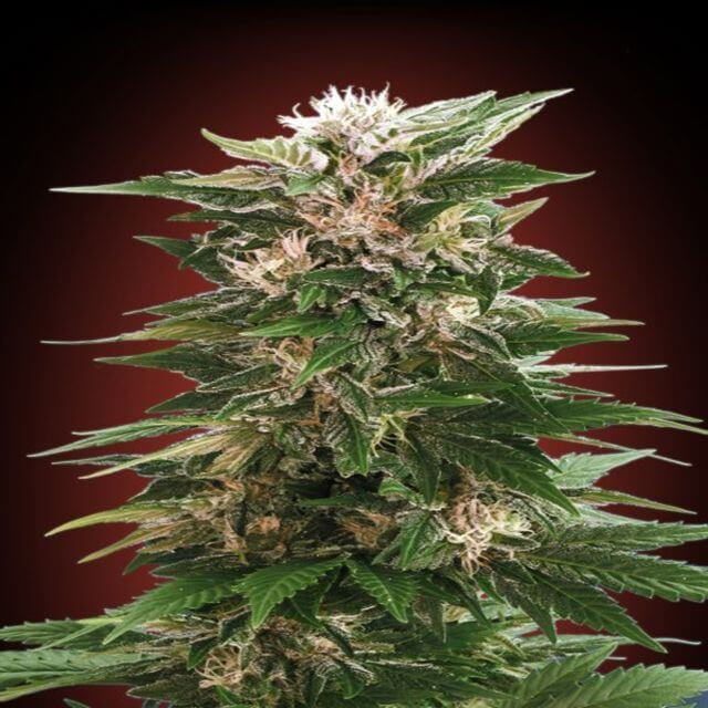 Buy Advanced Seeds Kaya 47 FEM