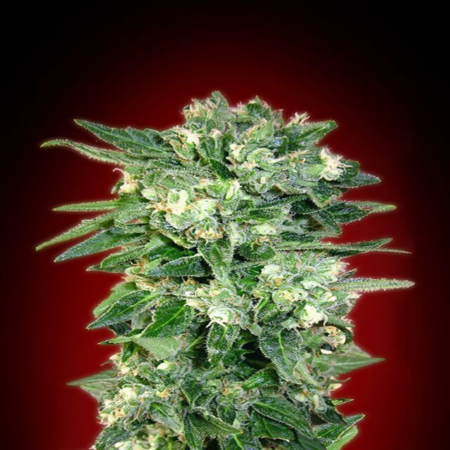 Buy Advanced Seeds Auto Kaya 47 FEM