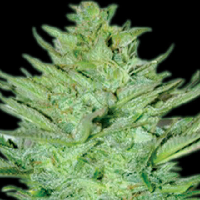 Buy Emerald Triangle Seeds Headlights Kush Auto REG