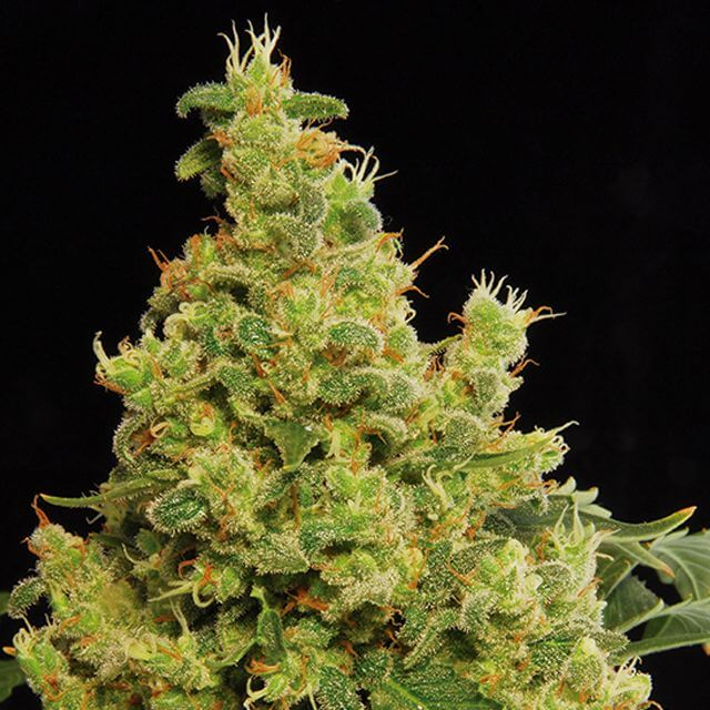 Buy Dinafem Seeds Blue Hash FEM