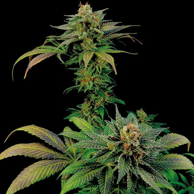 Buy Dinafem Seeds Blue Widow FEM
