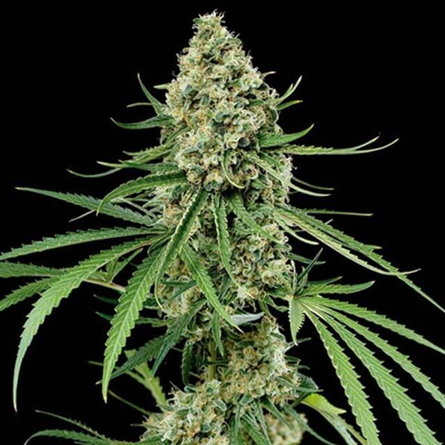 Buy Dinafem Seeds Critical + FEM