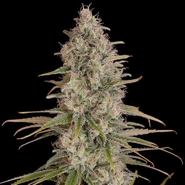 Buy Dinafem Seeds Critical Jack FEM