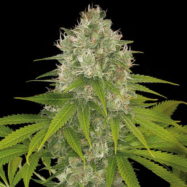 Buy Dinafem Seeds Power Kush FEM