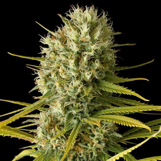 Buy Dinafem Seeds Original Amnesia FEM