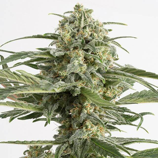Buy Dinafem Seeds Critical Cheese Auto FEM