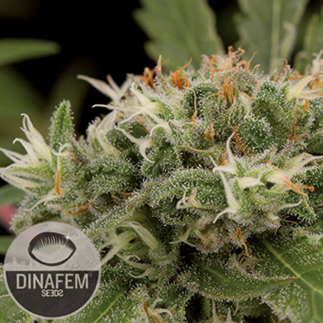 Buy Dinafem Seeds Strawberry Amnesia FEM