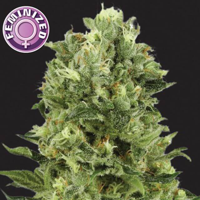 Buy Kera Seeds White Thunder FEM