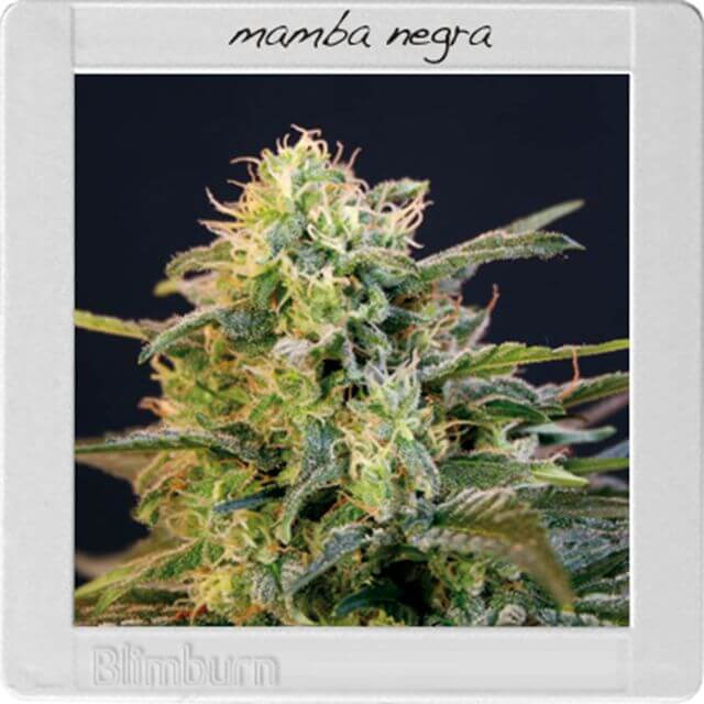 Buy Blimburn Seeds Mamba Negra FEM