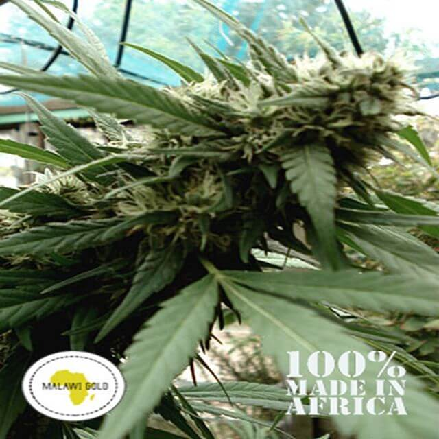 Buy Seeds of Africa Malawi Gold REG