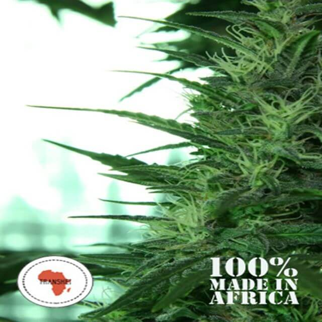 Buy Seeds of Africa Misty Kei (Transkei) REG