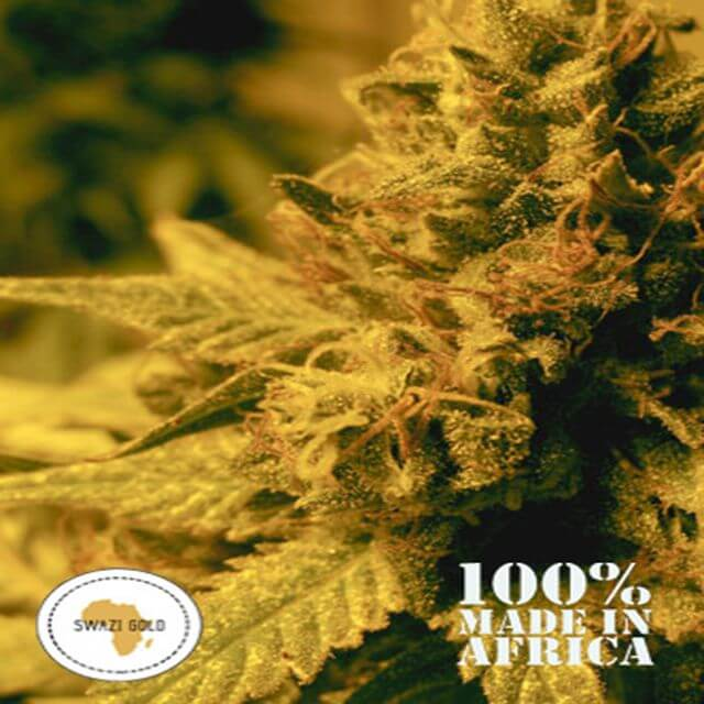 Buy Seeds of Africa Swazi Gold REG