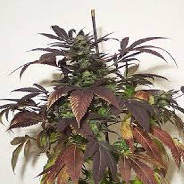 Buy Hazeman Seeds POW REG