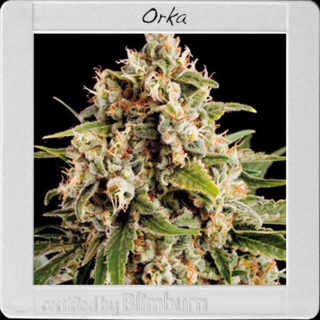 Buy Blimburn Seeds Orka FEM