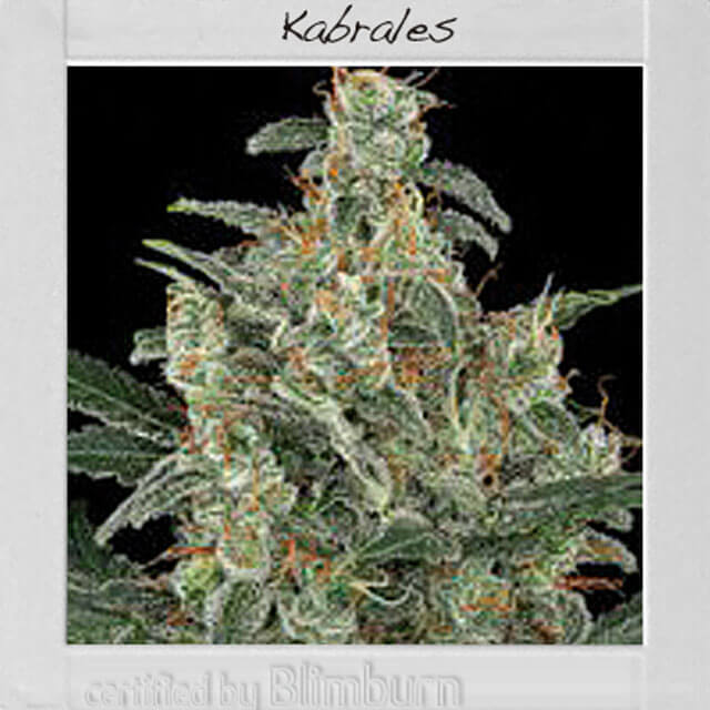Buy Blimburn Seeds Kabrales FEM