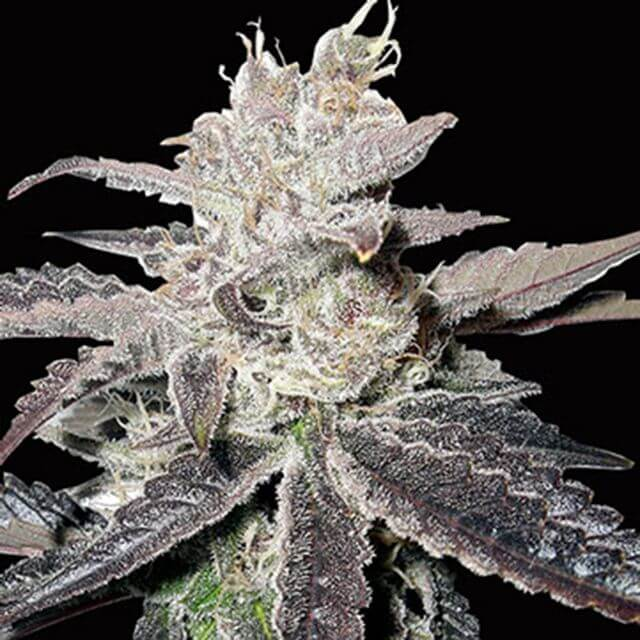 Buy Big Head Seeds Freeze Berry Auto FEM