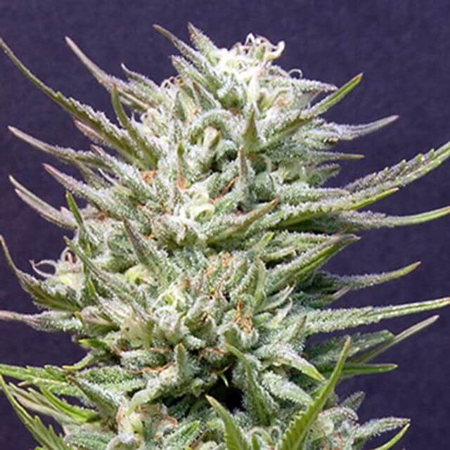 Buy Big Head Seeds Big Freeze FEM
