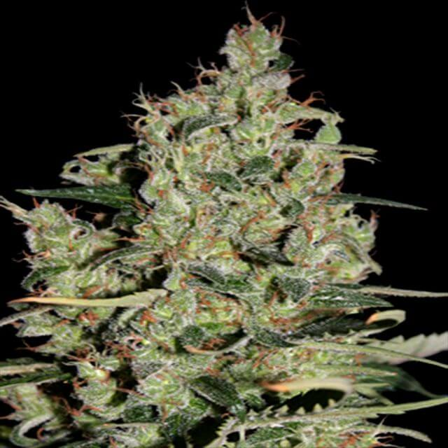 Buy Seedmakers Auto Critical  FEM