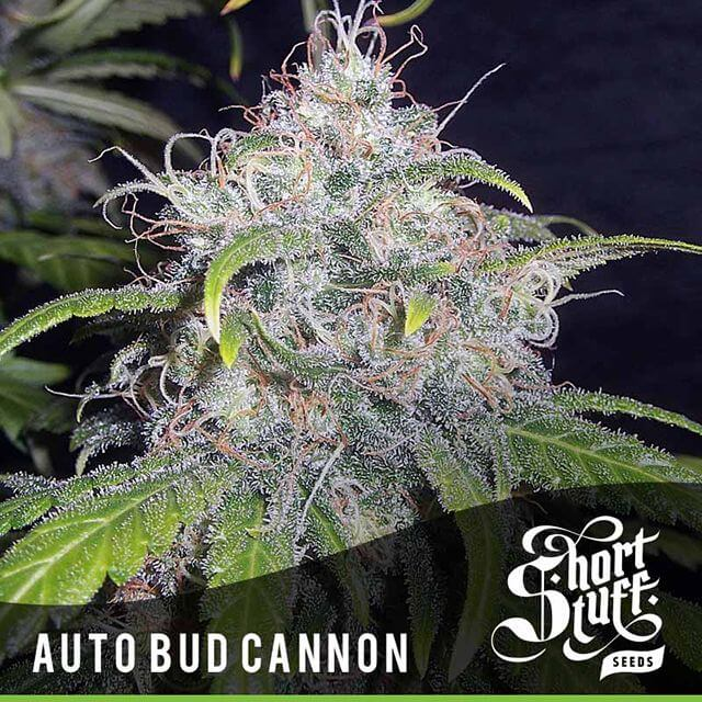 Buy Short Stuff Autoflowering Seeds Auto Bud Cannon FEM