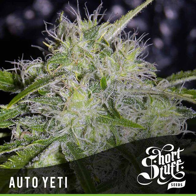 Buy Short Stuff Autoflowering Seeds Auto Yeti FEM