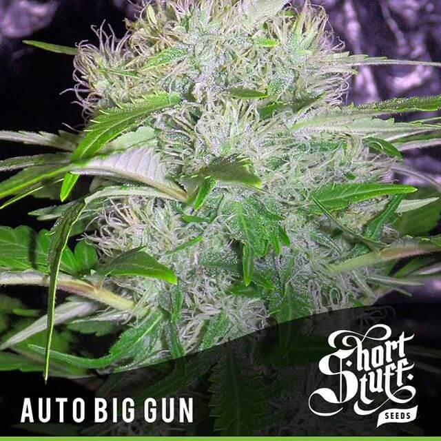 Buy Short Stuff Autoflowering Seeds Auto Big Gun FEM