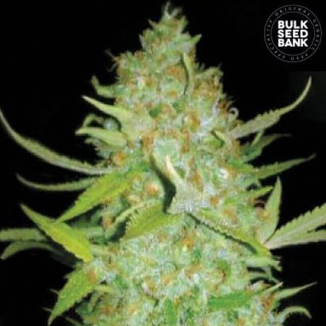 Buy Bulk Seed Bank Auto AK FEM