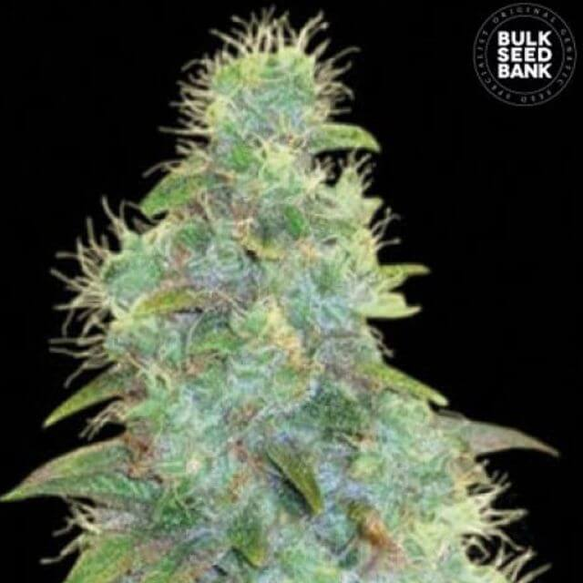 Buy Bulk Seed Bank Auto Sweet Tooth FEM