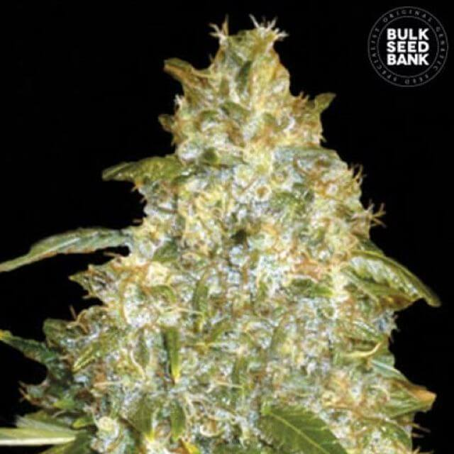 Buy Bulk Seed Bank Auto Good Wild Shark FEM