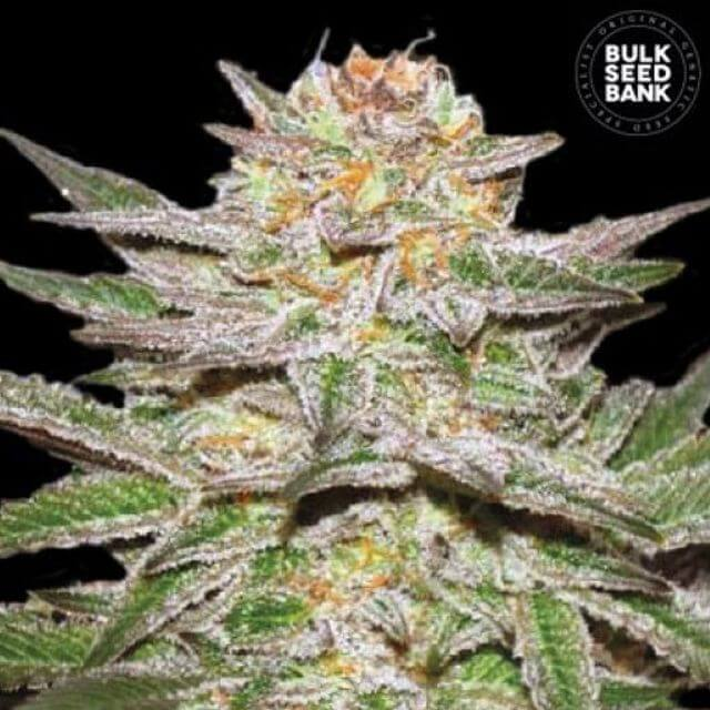 Buy Bulk Seed Bank Auto Caramel King FEM