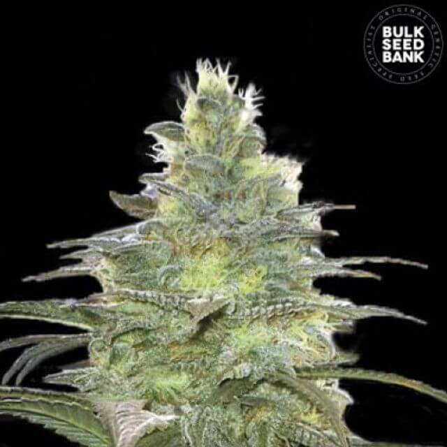 Buy Bulk Seed Bank Blueberry Berry FEM