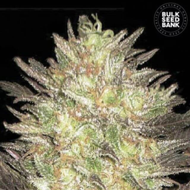 Buy Bulk Seed Bank Auto Lavender Best FEM