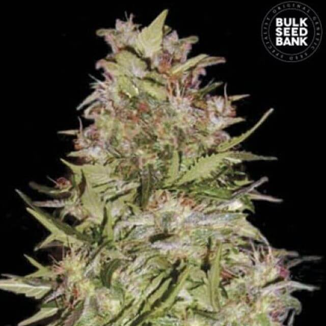 Buy Bulk Seed Bank Auto White Prussian FEM