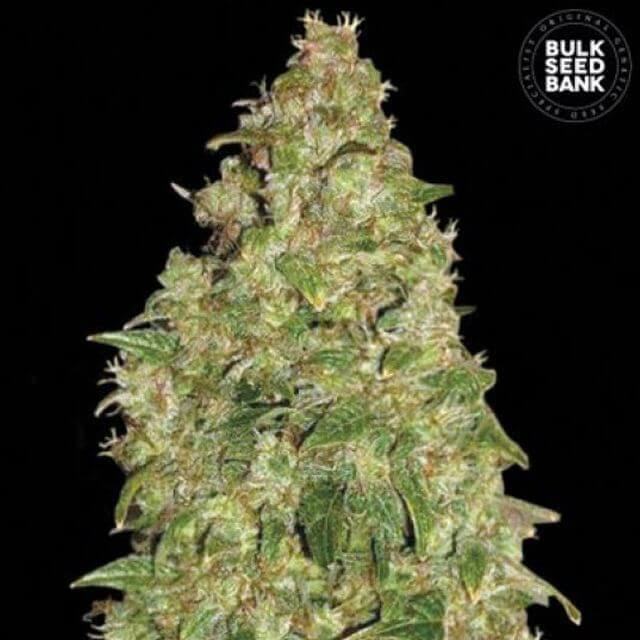 Buy Bulk Seed Bank Dubai Poison FEM