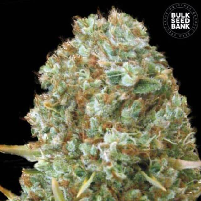 Buy Bulk Seed Bank Moby Big FEM