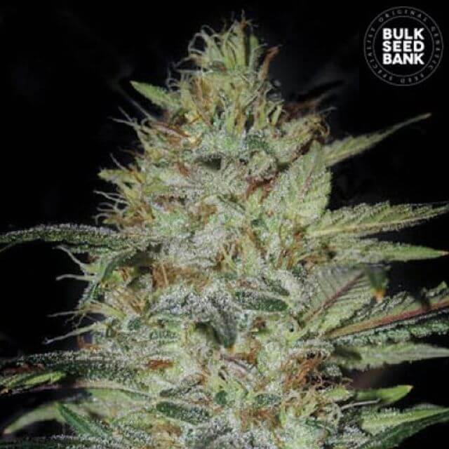 Buy Bulk Seed Bank Sensible Star FEM