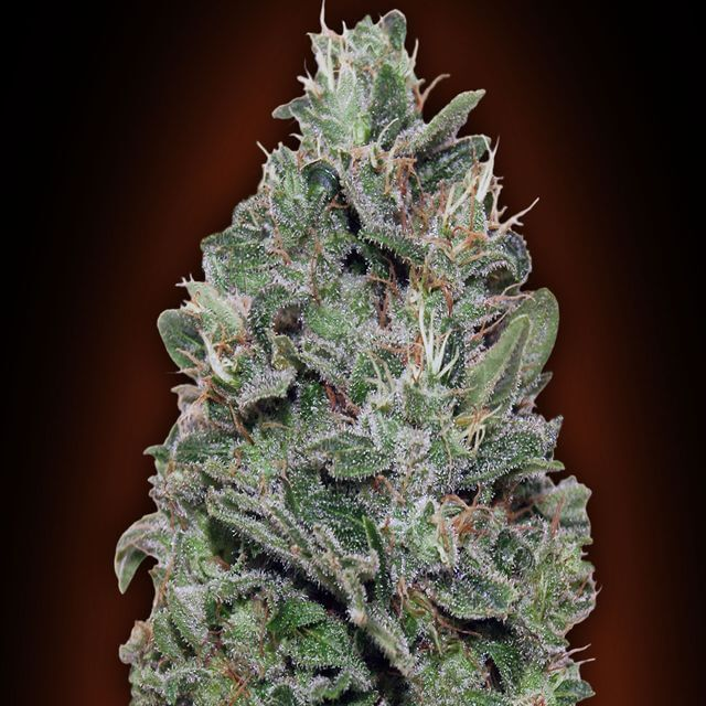 Buy 00 Seeds Sweet Soma FEM