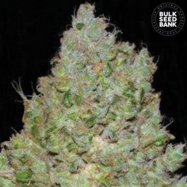 Buy Bulk Seed Bank Jack Hair FEM