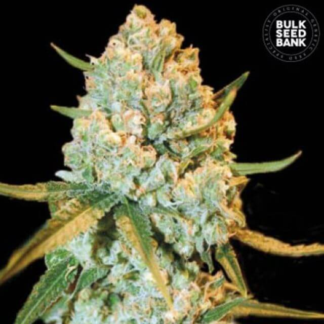 Buy Bulk Seed Bank Special Crystal Haze FEM