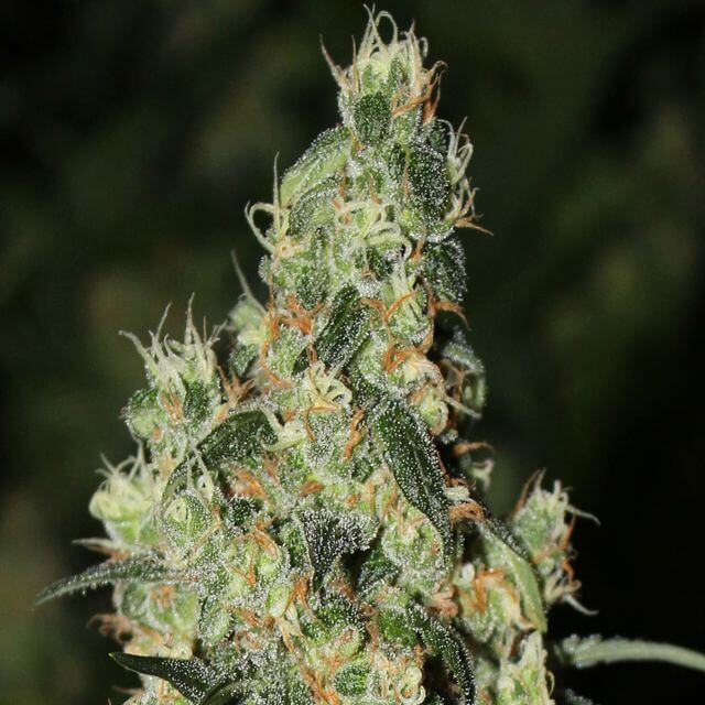 Buy Green Label Seeds Killer White FEM