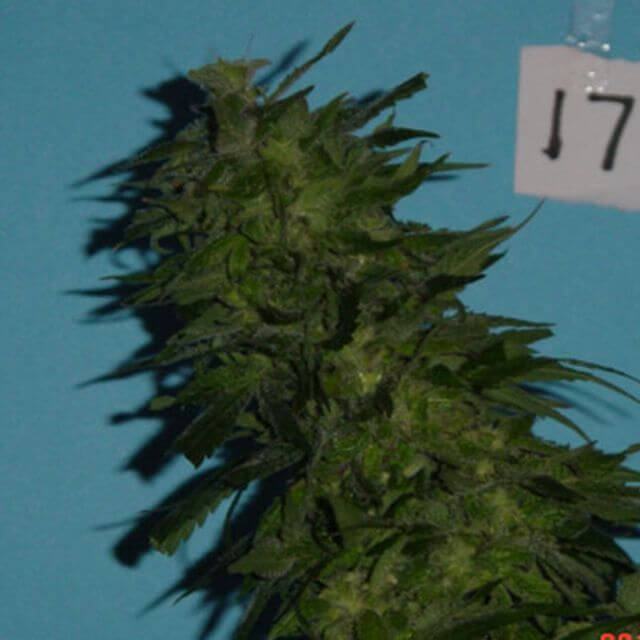 Buy Jordan of the Islands Seeds Skunkberry REG